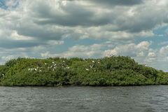 Caloosahatchee河在迈尔斯堡和在树的鹈鹕鸟 免版税图库摄影
