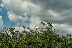 Caloosahatchee河在迈尔斯堡和在树的鹈鹕鸟 库存图片