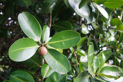 Calophyllum inophyllum Lizenzfreies Stockbild