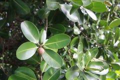 Calophyllum inophyllum stockbild