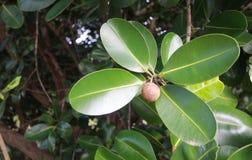 Calophyllum inophyllum Stockfotografie