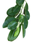 Calophyllum Inophyllum Leaf Royalty Free Stock Images