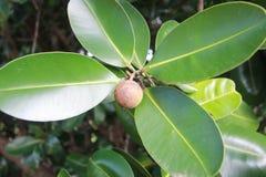 Calophylluminophyllum Royalty-vrije Stock Afbeeldingen
