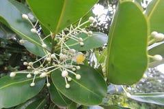 Calophylluminophyllum, blomma Arkivfoto
