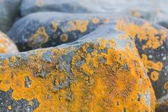 Caloplaca marina the Orange Sea Lichen moss on rock. Macro royalty free stock photo
