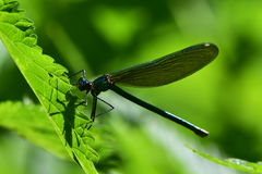 Caloptery virgo dragonfly stock photography