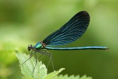 calopteryx处女座 库存照片
