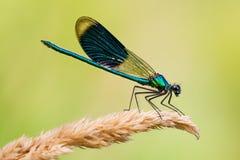 Calopteryx蜻蜓 图库摄影