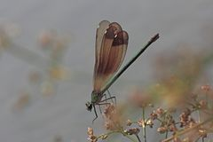 Calopteryx Dragonfly Stock Photos