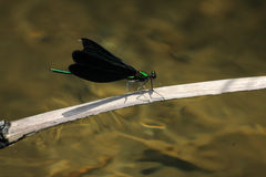Calopteryx japonica damselfly Royalty Free Stock Photo