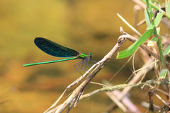 Calopteryx japonica damselfly Royalty Free Stock Image
