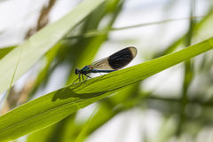 Calopteryx splendens, Banded Demoiselle, male dragonfly from Lower Saxony, Germany royalty free stock image