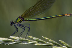 Calopteryx splendens/gestreepte damselfly, wijfje Royalty-vrije Stock Afbeelding