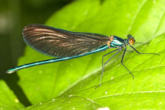 Calopteryx splendens / macro of Banded Demoiselle Royalty Free Stock Images