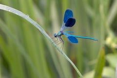 Calopteryx splendens torkar dess vingar fr?n dagg under de f?rsta str?larna av solen f?r flyg royaltyfri fotografi