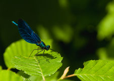 Calopteryx virgo Royalty Free Stock Images