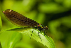 Calopteryx virgo Stock Photo