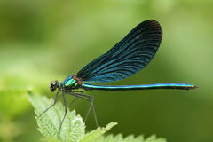 Calopteryx virgo Stock Photos