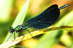 Calopteryx Virgo Stock Images