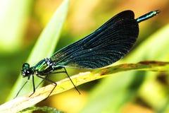 calopteryx virgo Στοκ Εικόνες