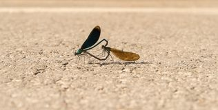 Calopteryx virgo. Beautiful demoiselle mate on the road. Closeup of female and male dragonfly. Calopteryx virgo. Beautiful demoiselle mate on the road. Closeup royalty free stock photos