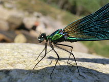 Calopteryx virgo Royalty Free Stock Photography