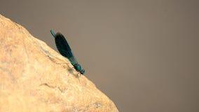 Calopteryx virgo. Dragonfly `beautiful girl`. 3 stock footage