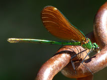 Calopteryx virgo female Royalty Free Stock Photography