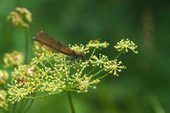Calopteryx virgo /female/ - dragonfly Royalty Free Stock Photos
