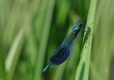 calopteryxdamselflysplendens Royaltyfri Bild