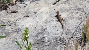 Calor de la piedra de la naturaleza del lagarto almacen de metraje de vídeo