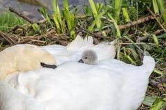 Calor do cisne novo e da mãe do bebê da cisne Fotografia de Stock