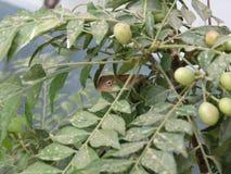Calote eller trädgårds- ödla på trädet Royaltyfria Foton