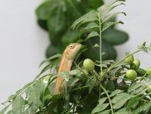 Calote eller trädgårds- ödla på trädet Fotografering för Bildbyråer