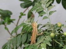 Calote eller trädgårds- ödla på trädet Royaltyfria Bilder