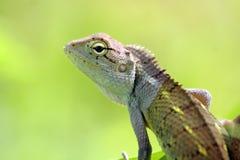 calotes印地安人蜥蜴 免版税库存图片