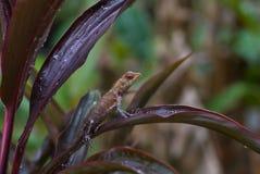 calotes庭院蜥蜴东方杂色 免版税库存照片