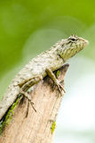 Calotes emma alticristatus is spcies name of reptile Royalty Free Stock Images