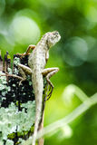 Calotes emma alticristatus is spcies name of reptile Stock Photography