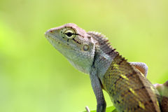 Calotes Indian lizard royalty free stock image