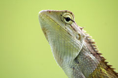 Calotes Indian lizard Royalty Free Stock Images