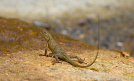 Calotes versicolor brown little lizard Royalty Free Stock Photo