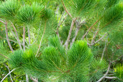 Calothamnus foliage Stock Images