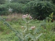 Calotropies gigantea 免版税图库摄影