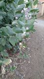 Calotropis植物 免版税库存图片
