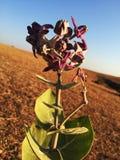 在印度的Calotropis冠紫色花 库存照片