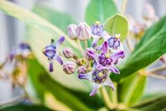 Calotropis Royaltyfria Bilder