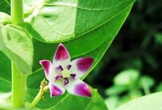Calotropis-Blume Stockfoto