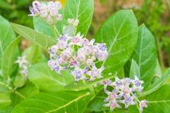 Calotropis bunte weiße und purpurrote Blume Stockfotos