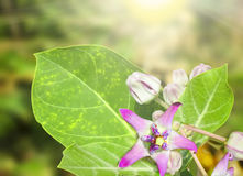Calotropis or Crown flowers. Backgrounds Stock Photos